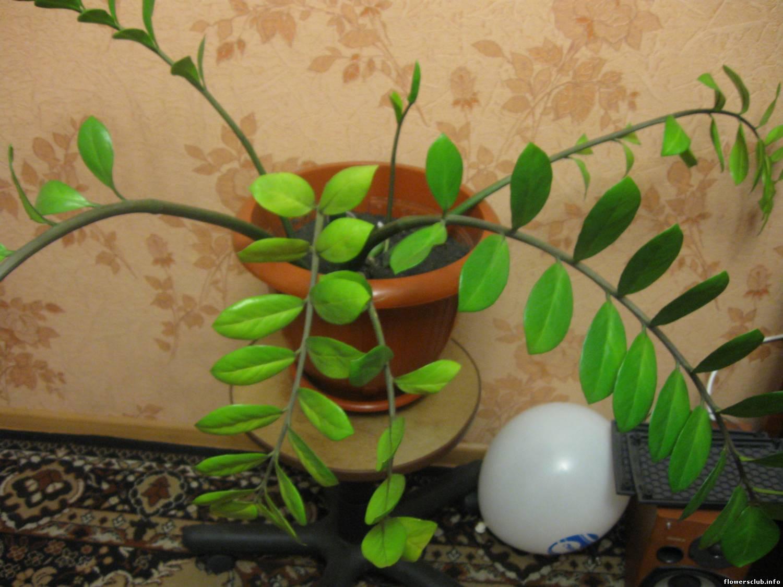 Земля для замиокулькаса в домашних условиях