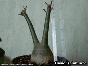 Пересадка цветов каудексных форм на flowersclub.info